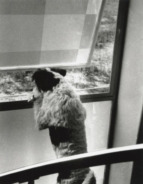 Teddy the dog at the frosted windows. Collection Het Nieuwe Instituut. Loan BIHS